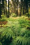 在夏天具球果深绿色蕨灌木的蕨叶子绿色叶子在森林之间的公园, 免版税库存照片