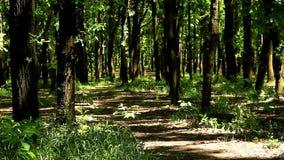 在夏天初,豪华的绿叶在森林树丛在阳光下被充斥 股票录像