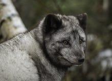 在夏天外套的白狐 免版税库存图片