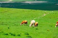 在夏天大草原的吃草母牛 库存图片