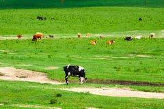 在夏天大草原的黑白花的母牛 库存图片