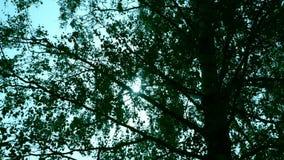 在夏天天空背景的桦树 桦树叶子 绿色叶子背景 影视素材