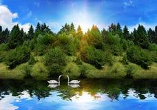 在夏天天鹅游泳附近的森林湖 免版税图库摄影