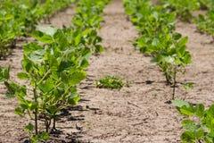 在夏天太阳下的大豆种植园 库存图片