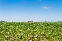 在夏天太阳下的大豆种植园 库存照片