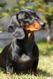 在夏天尾随德国头发的达克斯猎犬户外 库存图片