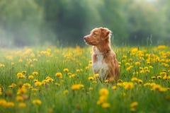 在夏天尾随走在一个领域的新斯科舍鸭子敲的猎犬 免版税库存照片