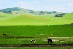 在夏天干草原的黑白花的母牛 库存照片