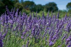 在夏天开花的特写镜头的淡紫色花 免版税库存图片