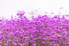 在夏天日落的开花的马鞭草属植物领域 免版税库存照片