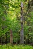 在夏天日落的老英国橡树 库存照片