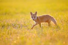 在夏天日落的Fox崽 库存照片