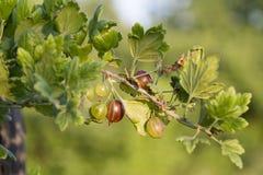在夏天有agrus灌木在庭院里 图库摄影