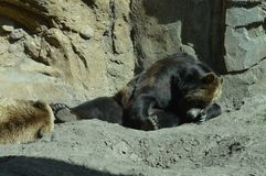 在夏天期间,一头北美灰熊 库存照片