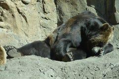 在夏天期间,一头北美灰熊 图库摄影