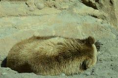 在夏天期间,一头北美灰熊 免版税库存照片