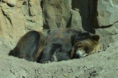 在夏天期间,一头北美灰熊 库存图片