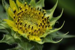 在夏天期间,向日葵被采取 库存图片