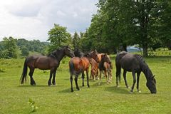 在夏天期间,在草甸的自由马 免版税库存照片