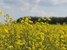 在夏天期间,农田的油菜植物 库存照片