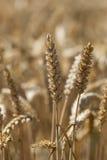 在夏天期间,在一个领域的麦子 免版税库存照片