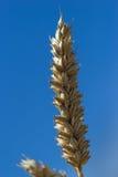 在夏天期间,在一个领域的麦子 免版税库存图片