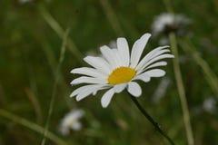 在夏天期间,在盛开的唯一开花的草坪雏菊 图库摄影
