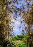 在夏天期间,干燥竹子在森林里 免版税库存图片
