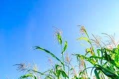 在夏天期间,甜玉米的领域 图库摄影