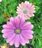在夏天期间,紫色海角延命菊雏菊开花开花 免版税库存图片