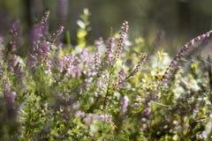 在夏天森林软的口气的开花的石南花,美好的bokeh,绿化背景 spiderweb 免版税库存照片