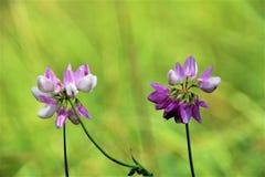 在夏天沼地的两朵偏僻的花 库存图片
