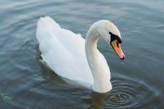 在夏天湖游泳的白色天鹅 免版税库存图片