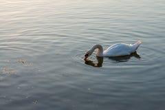 在夏天湖游泳的白色天鹅 库存照片
