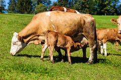 在夏天牧场地的奶牛 免版税图库摄影