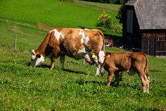 在夏天牧场地的奶牛 免版税库存图片