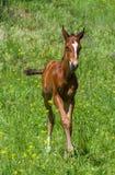 在夏天牧场地的新出生的驹 免版税图库摄影