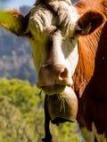 在夏天牧场地的母牛 库存图片