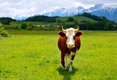 在夏天牧场地的瑞士母牛 免版税图库摄影