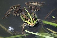 在夏天特写镜头的池蛙 库存图片