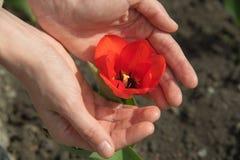 在夏天的棕榈的一朵开花的郁金香花 图库摄影