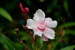 在夏天绽放的白色夹竹桃花 免版税图库摄影