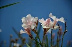 在夏天绽放的白色夹竹桃花 库存图片