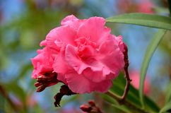 在夏天绽放的红色夹竹桃花 免版税库存照片