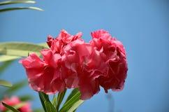 在夏天绽放的红色夹竹桃花 库存图片