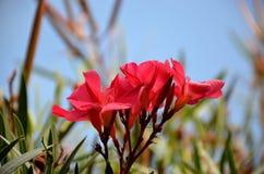 在夏天绽放的红色夹竹桃花 免版税库存图片