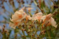 在夏天绽放的黄色夹竹桃花 免版税库存照片