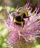 在夏天花的土蜂 库存图片