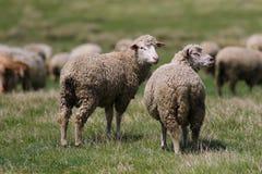 在夏天草甸的两只绵羊 免版税库存图片