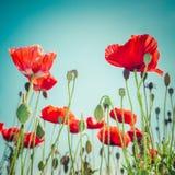 在夏天草甸的狂放的鸦片花 背景细部图花卉向量 库存照片